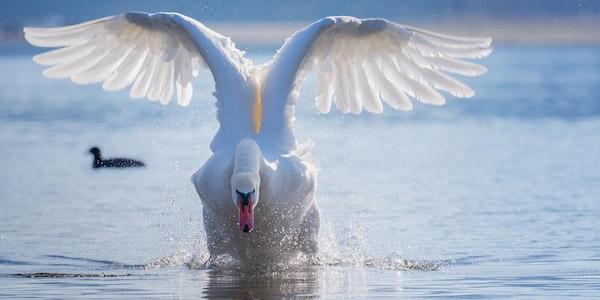 البجع الصامت Mute Swan