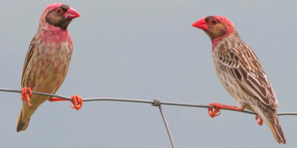 الشرشور الأحمر Red-billed Quelea