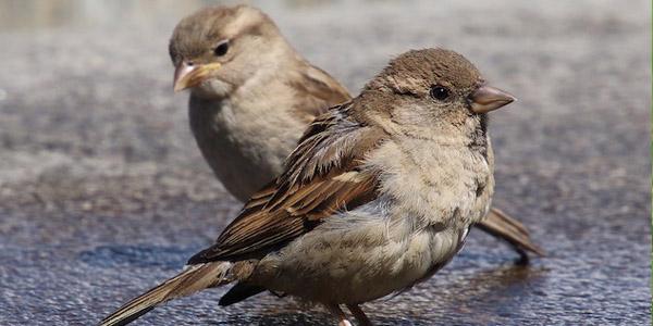 العصفور الدوري House Sparrow
