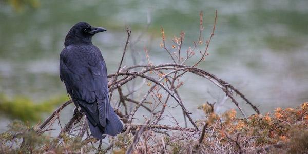 الغراب الأمريكي American Crow