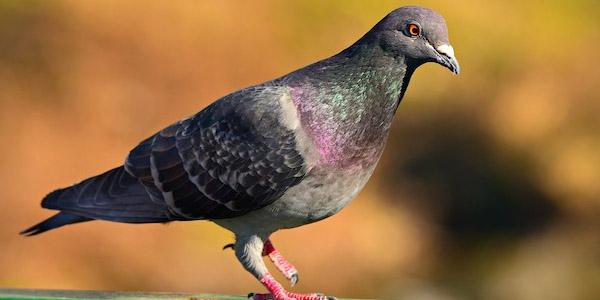 حمامة الصخرة Rock Pigeon