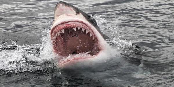 شيء يأكل أسماك القرش البيضاء