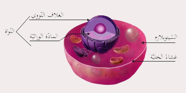 نواة الخلية البشرية