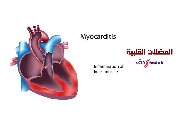 العضلات القلبية