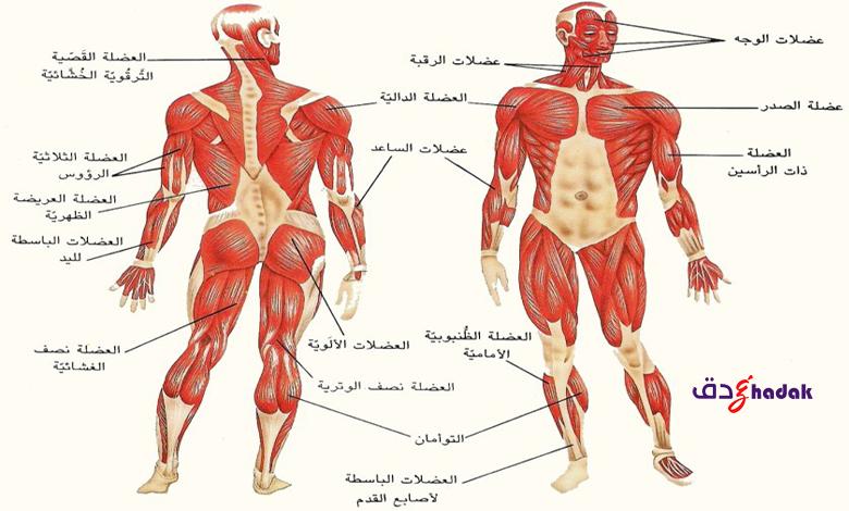 انقباض العضلات