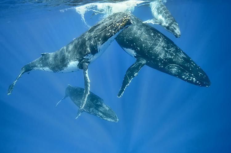 أنواع الحيتان المغنية