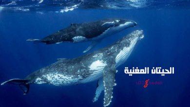 صورة سيمفونية الحيتان المغنية تحت الماء