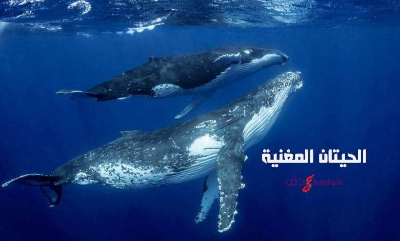 الحيتان المغنية تحت الماء