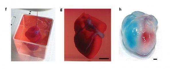 أنسجة قلبية وأوعية دموية
