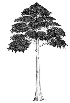 Archaeopteris أول نباتات اليابسة