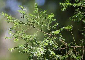 Pitys أول نباتات اليابسة