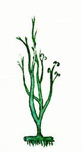 Psilophyton