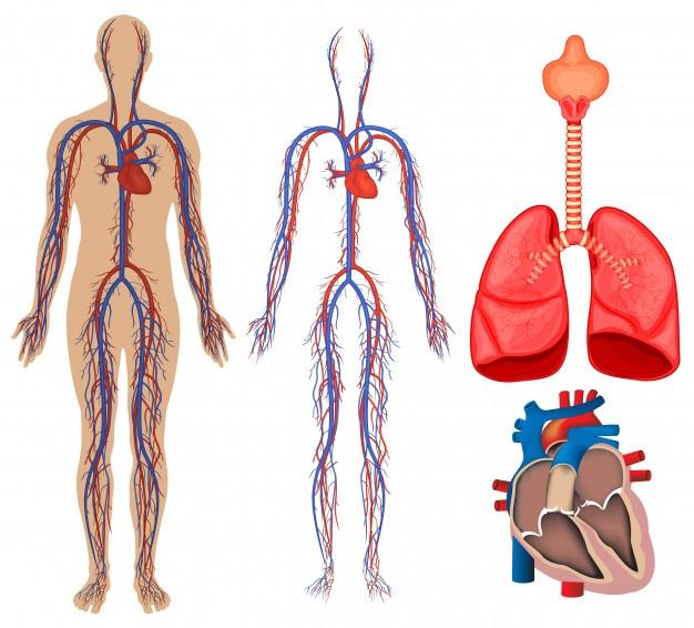 أجزاء الدورة الدموية