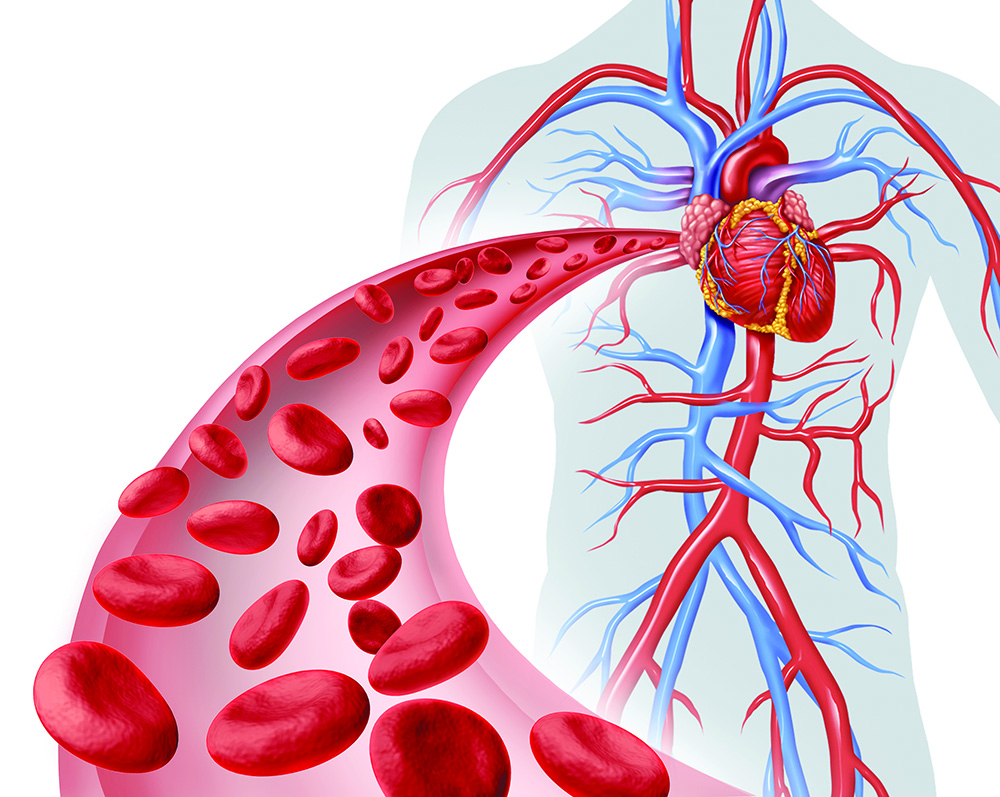 كيف تعمل الدورة الدموية
