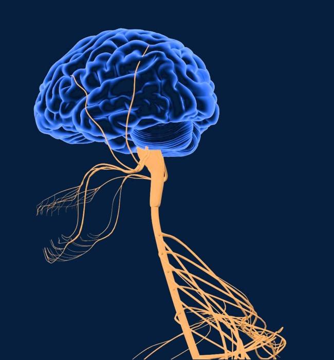 الأعصاب الدماغية