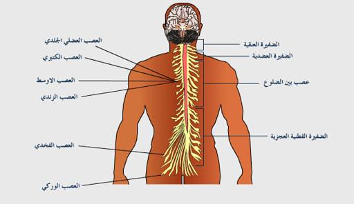 الأعصاب الشوكية