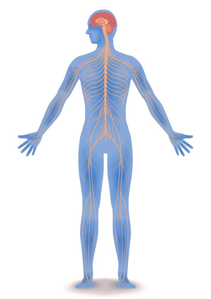 الجهاز العصبي المركزي والطرفي