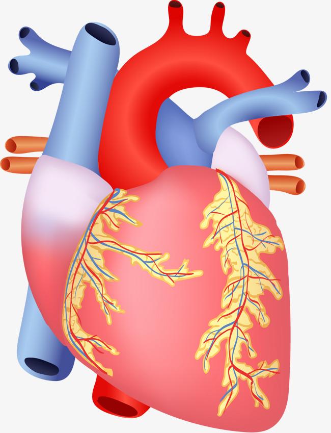 القلب البشري صورة أمامية