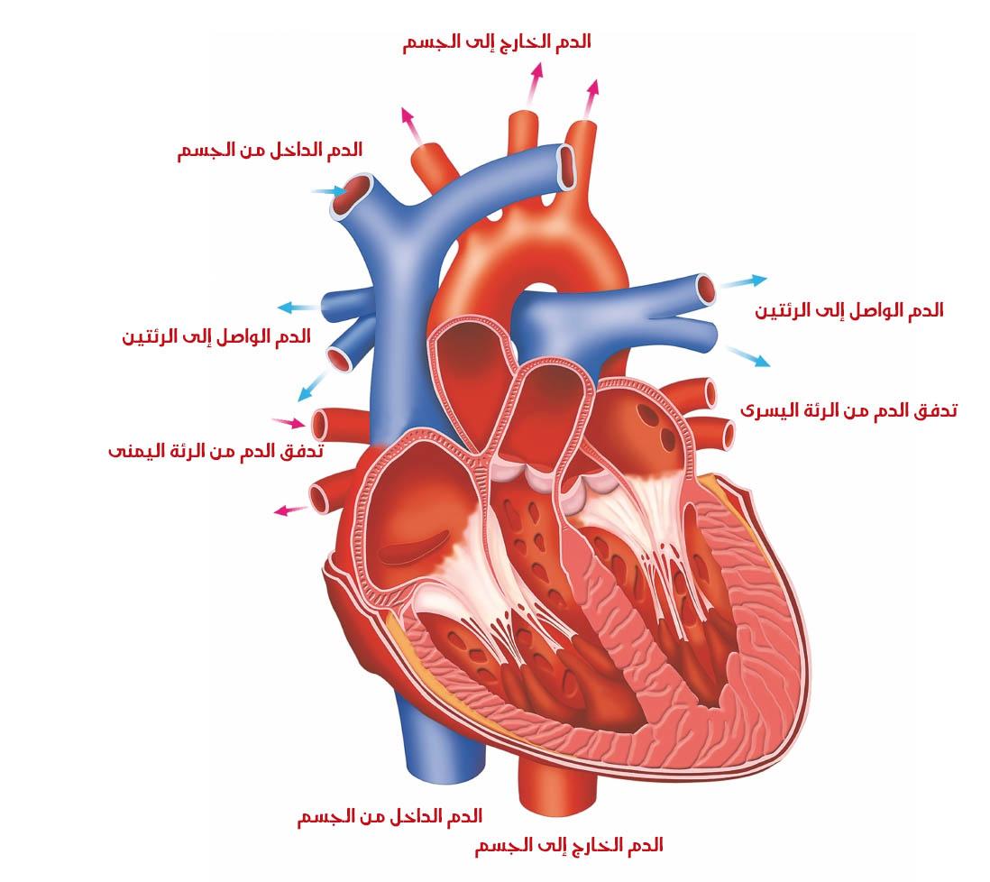 القلب البشري صورة قطاع عرضي