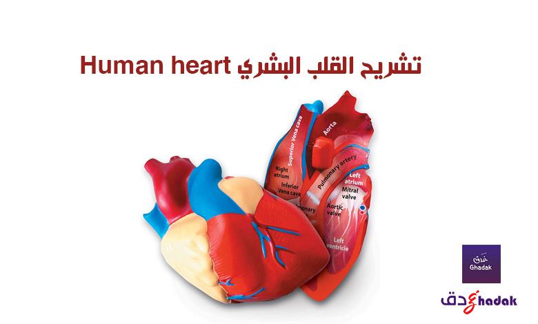 تشريح القلب البشري Human heart