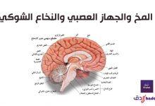 تشريح المخ البشري والمخيخ ووظائفه بالصور