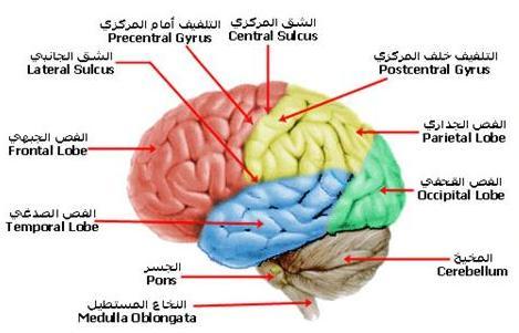 تشريح المخ والمخيخ