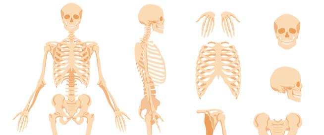 تفاصيل الهيكل العظمي للإنسان