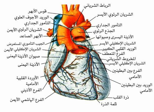 تكوين جدران القلب