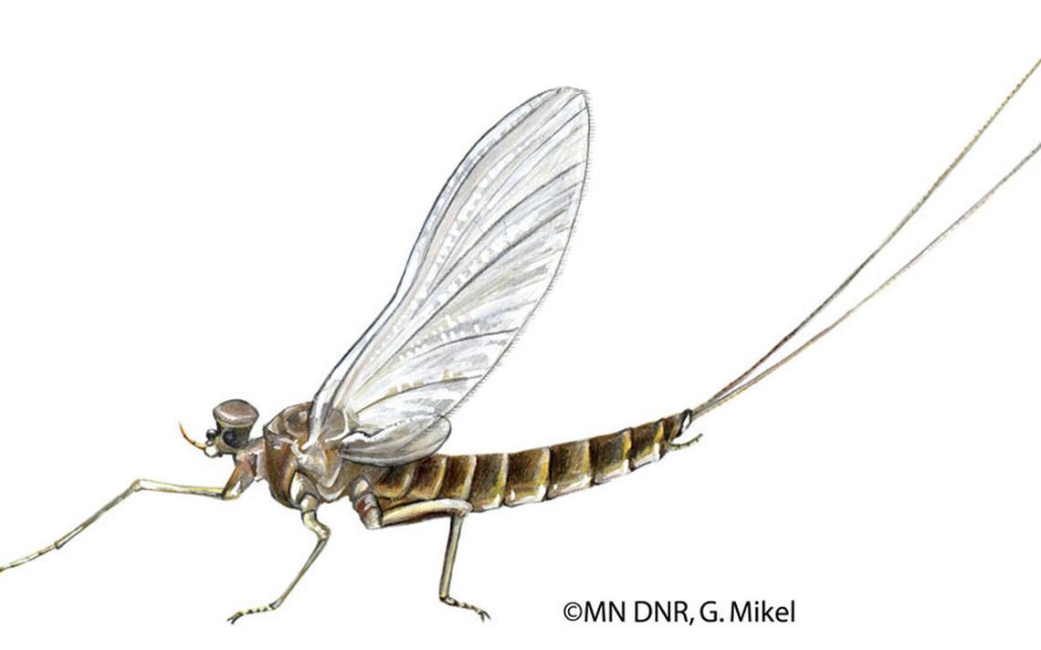 رتبة أفيميروبترا Ephemeroptera مجنحة لمدة يوم