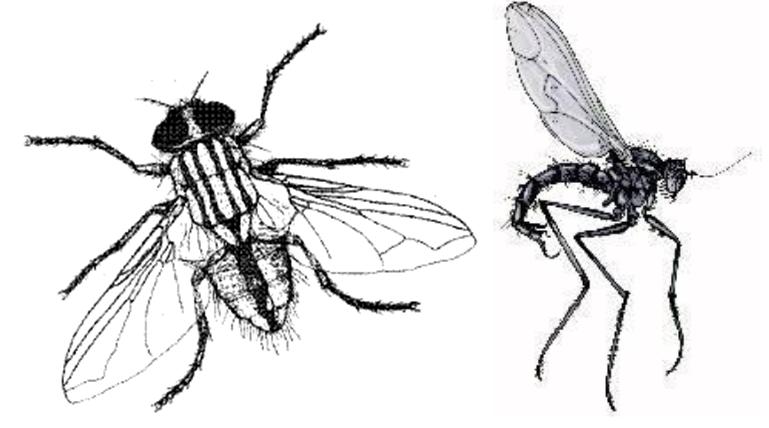 رتبة ديبترا Diptera ذات الجناحين