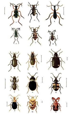 رتبة كوليوبترا Coleoptera غمدية الأجنحة