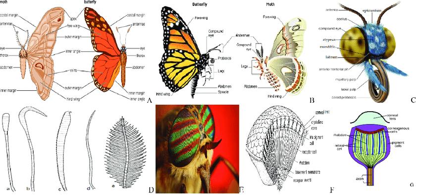 رتبة ليبيدوتيرا Lepidoptera حرشفية الأجنحة