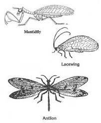 رتبة نيوروبترا Neuroptera شبكية الأجنحية