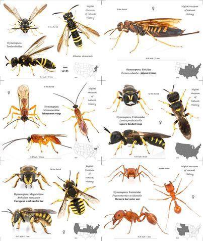 رتبة هايمينوبترا Hymenoptera غشائية الأجنحة