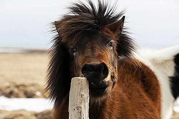 الحصان الأيسلندي