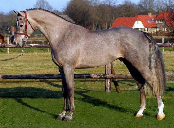 الحصان هانوفران