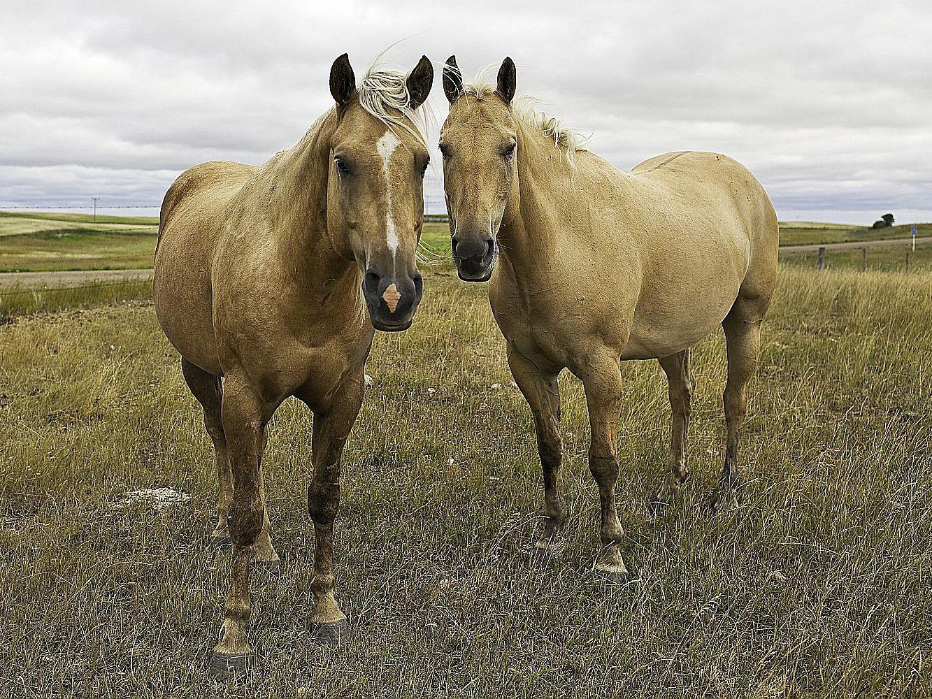 حصان الربع الأمريكي