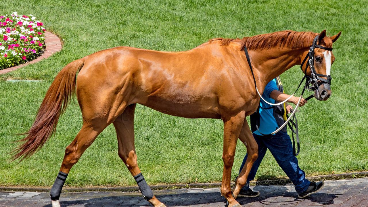 حصان السباق الأمريكي