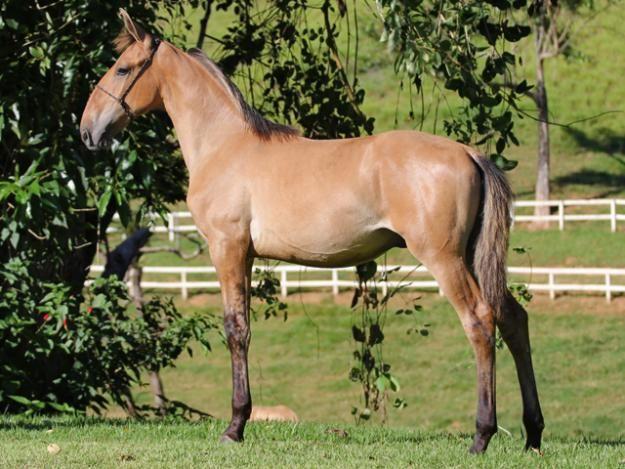 حصان جبل كنتاكي