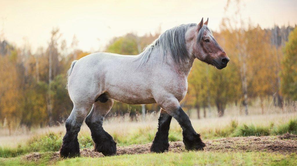 خيول الجر