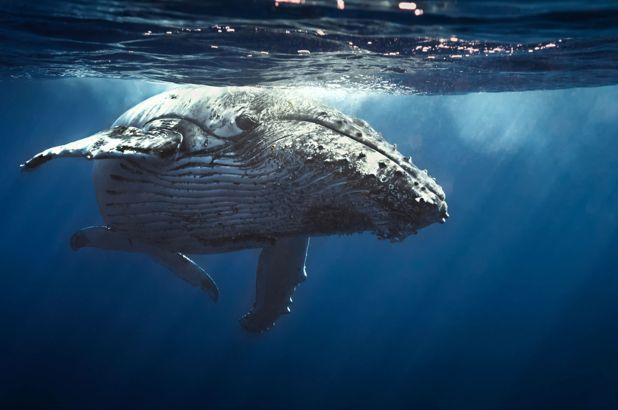 أعالي البحار الحوت الأزرق