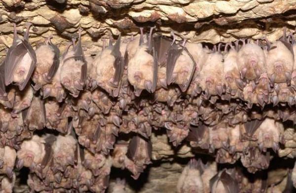 البيات الشتوي عند الخفاش