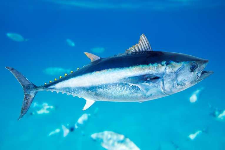 التونة زرقاء الزعنفة