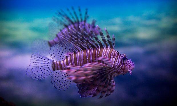 سمكة التنين