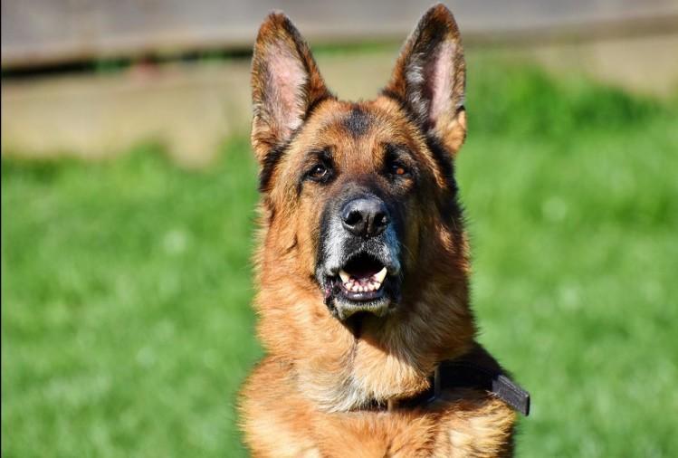 الكلب الألماني