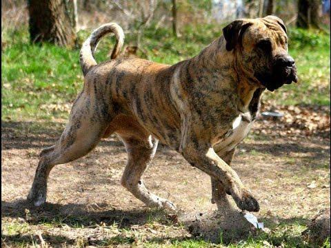 كلب البريسا كناريو