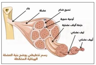 العضلات المخططة