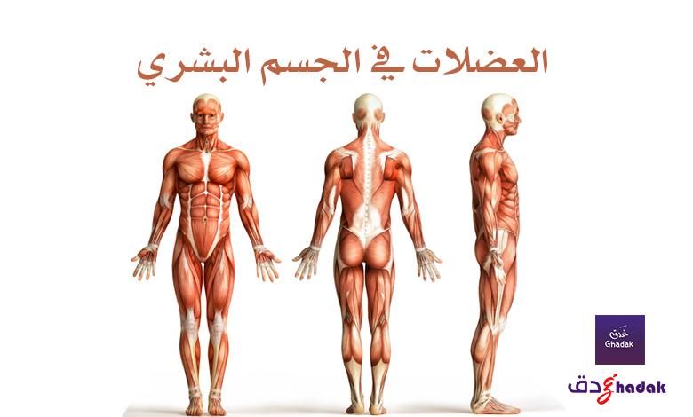العضلات في الجسم البشري