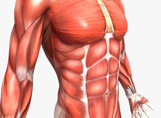 كيف تعمل العضلات في الجسم البشري